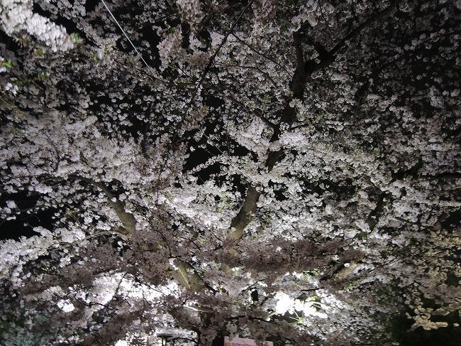 2016千鳥が淵桜ライトアップ3
